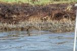 Oiled saltwater marsh.